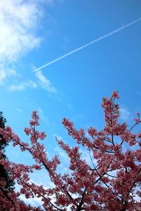 桜と飛行機雲の写真素材 [FYI00454997]