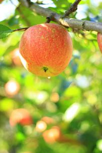 リンゴの写真素材 [FYI00455047]