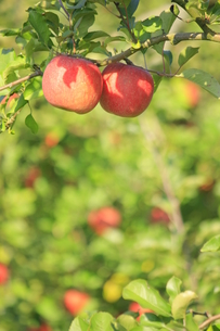 リンゴの写真素材 [FYI00455059]