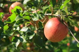 リンゴの写真素材 [FYI00455061]