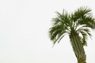 やしの木の写真素材 [FYI00455086]