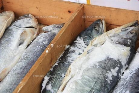 鮭の写真素材 [FYI00455224]