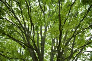 樫木の広がりの写真素材 [FYI00455272]