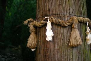 杉の木と注連縄の写真素材 [FYI00455288]
