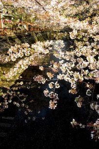 目黒川の桜の写真素材 [FYI00455304]