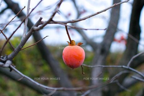 1つ残った柿の実の写真素材 [FYI00455308]