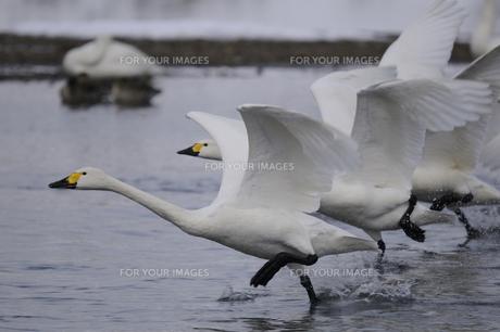 白鳥の写真素材 [FYI00455374]