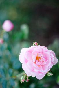 ピンクの薔薇の写真素材 [FYI00455422]