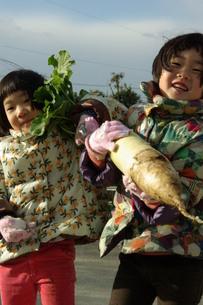 大根の収穫の写真素材 [FYI00455670]