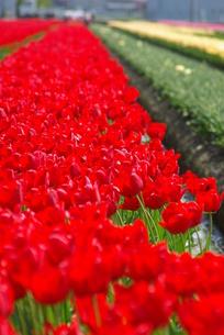 紅いチューリップ畑の写真素材 [FYI00455682]