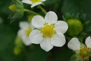 イチゴ花の写真素材 [FYI00455745]