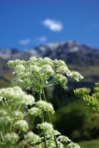 アルプス高山植物の写真素材 [FYI00455758]
