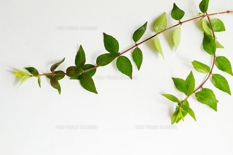 新緑の葉っぱの素材 [FYI00456023]