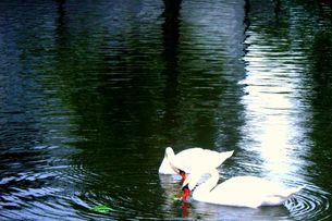 寄り添う白鳥の写真素材 [FYI00456039]