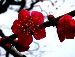 梅の写真素材 [FYI00456053]