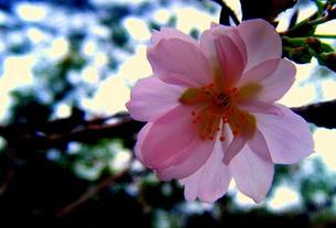十月桜の写真素材 [FYI00456054]