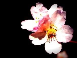 桜の写真素材 [FYI00456072]