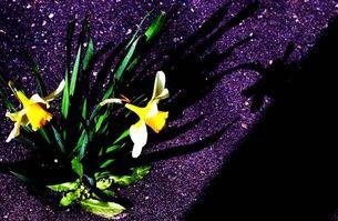アスファルトに咲く花の写真素材 [FYI00456080]