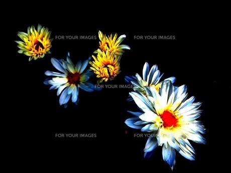 影に浮かぶ花の素材 [FYI00456098]