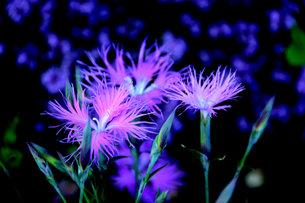 浮かぶ、紫の写真素材 [FYI00456116]