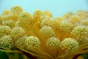 黄色のぼんぼんの写真素材 [FYI00456117]