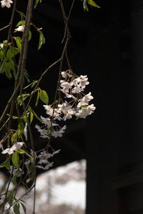 軒下に咲いたシダレザクラの写真素材 [FYI00456163]