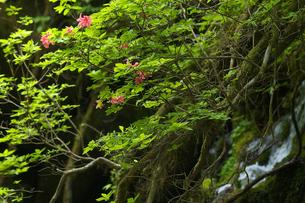 水辺に咲くツツジの写真素材 [FYI00456175]