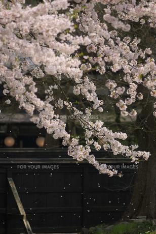 黒板塀を背に散るソメイヨシノの写真素材 [FYI00456180]