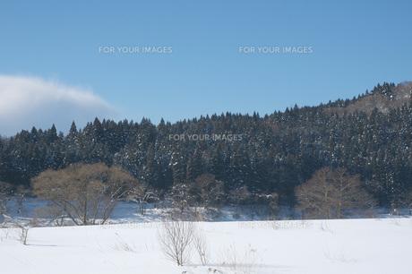 青空の下の冬の秋田杉林の写真素材 [FYI00456182]