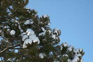 雪を冠った秋田杉の写真素材 [FYI00456184]