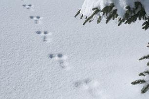 雪上の小動物の足跡の素材 [FYI00456193]