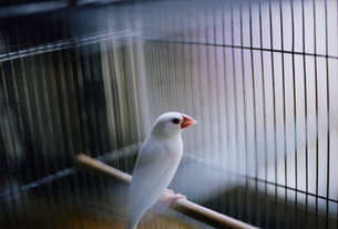 白い文鳥の写真素材 [FYI00456366]