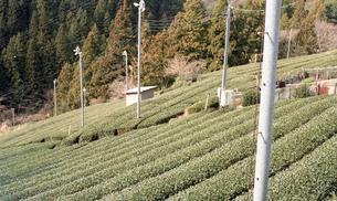 お茶畑の素材 [FYI00456390]