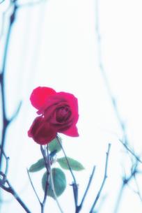 薔薇の写真素材 [FYI00456466]