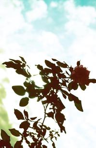 薔薇の写真素材 [FYI00456471]