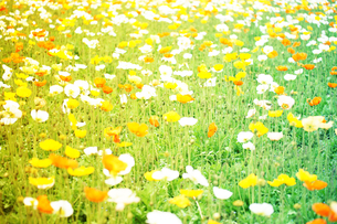 お花畑の写真素材 [FYI00456506]