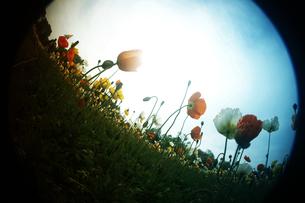 フィッシュアイの花畑の写真素材 [FYI00456519]
