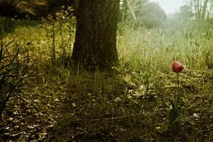 一輪の花の写真素材 [FYI00456523]
