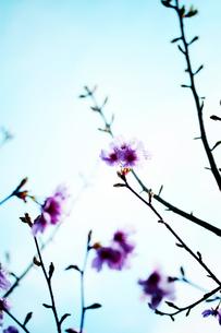 桜の写真素材 [FYI00456525]