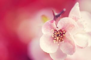 桜の写真素材 [FYI00456553]
