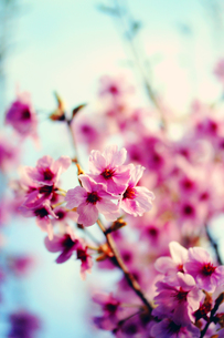 桜の写真素材 [FYI00456555]
