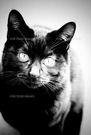黒猫の写真素材 [FYI00456563]