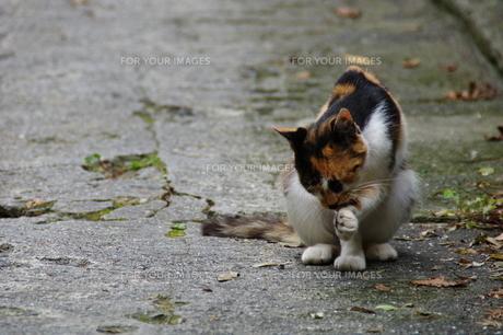 猫が毛づくろいする風景の写真素材 [FYI00456678]