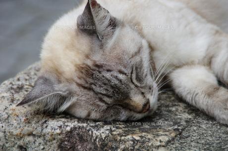 とある猫のお昼寝の写真素材 [FYI00456679]