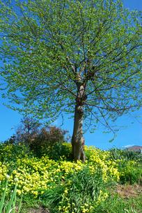 若芽の木と陽気な春の写真素材 [FYI00456694]
