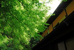 新緑のモミジと家屋の写真素材 [FYI00456717]