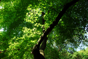 新緑のモミジの写真素材 [FYI00456719]