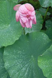 ハスの花と雨粒の写真素材 [FYI00456720]