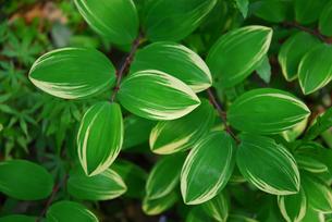 鮮やかな緑の葉の写真素材 [FYI00456723]