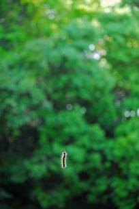 宙にぶら下がる毛虫の写真素材 [FYI00456724]